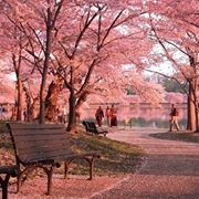 Cherry Blossoms of Washington