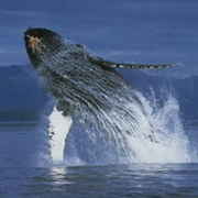 Go Whale Watching in Tadoussac (QC)