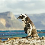 See the Penguins at Boulders Beach