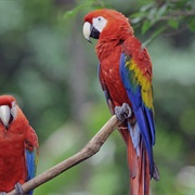 Spot a Scarlet Macaw in Costa Rica's Corcovado Rainforest