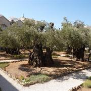 Gethsemane and Mt. of Olives Churches