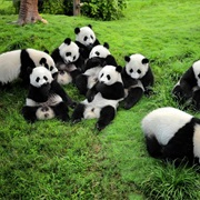 Chengdu: See the Pandas