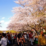 Attend a Cherry Blossom Festival in Japan